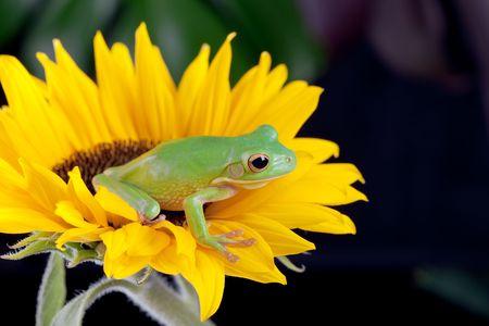 White-lipped tree frog or Litoria Infrafrenata sitting on a sunflower Stock Photo - 6700331