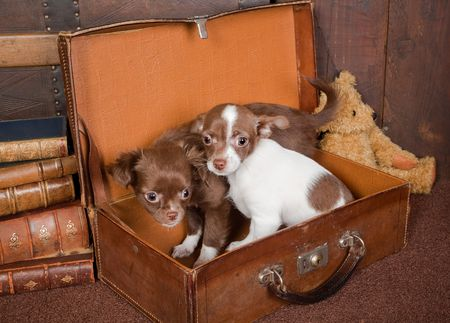 minuscule: Old vintage suitcase with a teddy bear and two puppy chihuahua dogs Stock Photo