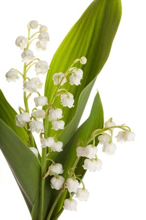 Twigs of Lilly-of-the-valley isolated against white Stock Photo