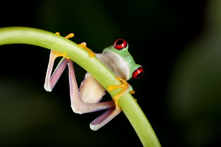 One inch red-eyed tree frog on a liane