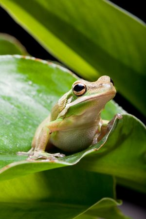 Little green tree frog sitting on a banana leaf Stock Photo - 6812295