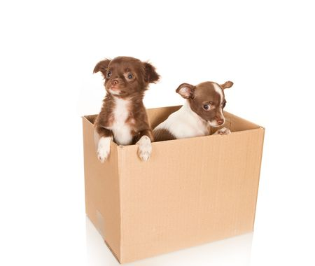 minuscule: Two puppy chihuahua dogs in a brown box to be moved