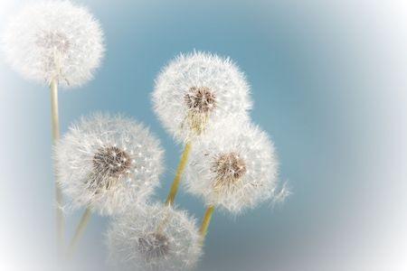 Soft dandelion flowers against a blue sky Stock Photo