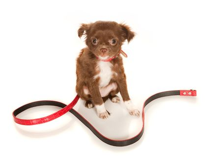 Brown longhaired Chihuahua puppy on a white background Stock Photo - 6901196