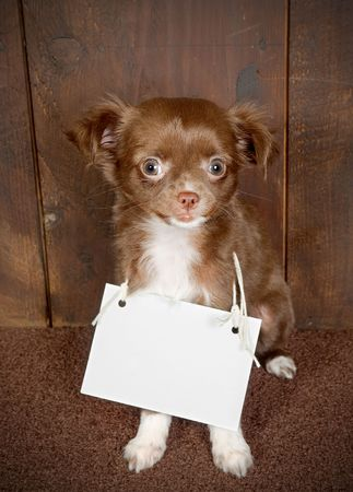 Three months old puppy chihuahua dog with an empty card message photo