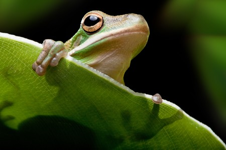 Little green tree frog sitting on a banana leaf Stock Photo - 6901247
