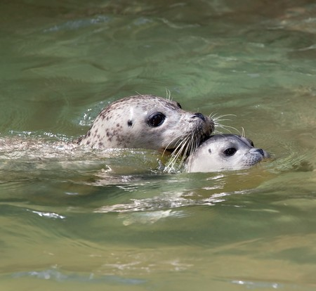 Closeup of a mother and baby seal swimming Stock Photo - 7010311