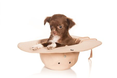 Chihuahua puppy sitting in a large cowboy hat Stock Photo - 7010320