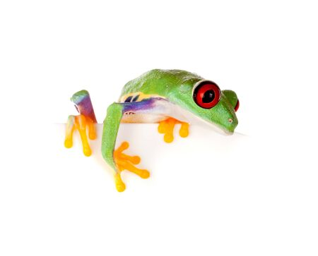 redeyed tree frog: Young red eyed tree frog isolated on a white page