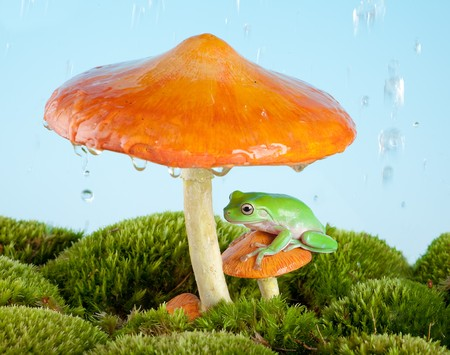 toadstool: White-lipped tree frog on a toadstool or mushroom hiding for the rain Stock Photo