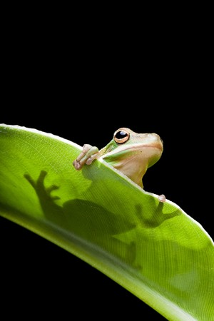 green tree frog: Little green tree frog sitting on a banana leaf