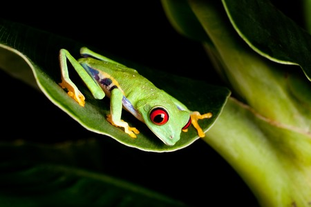 tropical frog: Red eyed tree frog on banana leaf