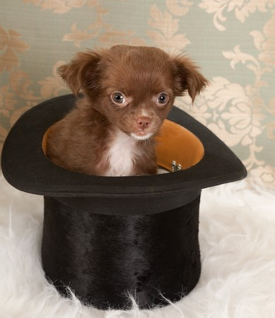 Three months old puppy chihuahua dog in a black top hat Stock Photo - 7214791