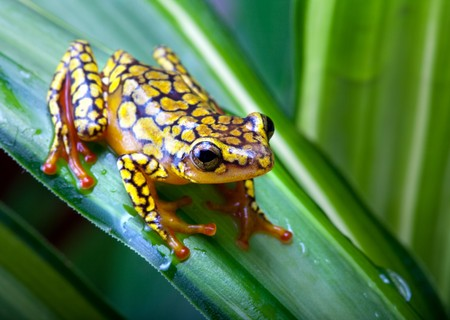 Harlequin Poison Dart Frog or Dendrobates histnicus Stock Photo - 7332773