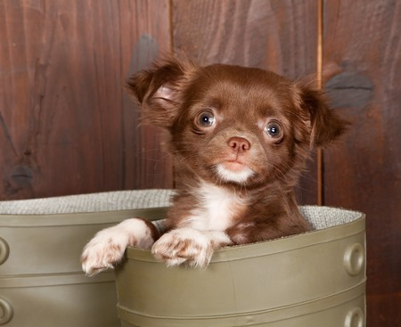 whelp: Big boots with a three months old chihuahua puppy Stock Photo