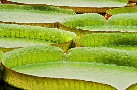 Several huge Victoria regia leaves in the Amazon rain forest photo