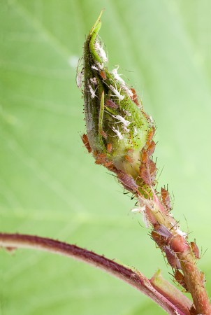 lice: Plant louse colony or aphid lice insects eating a closed flower bud