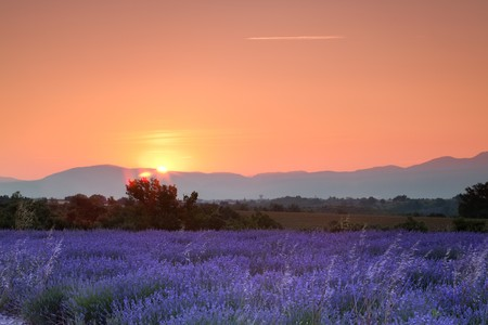 plateau of flowers: Sunrise over a summer lavender field in Provence, France
