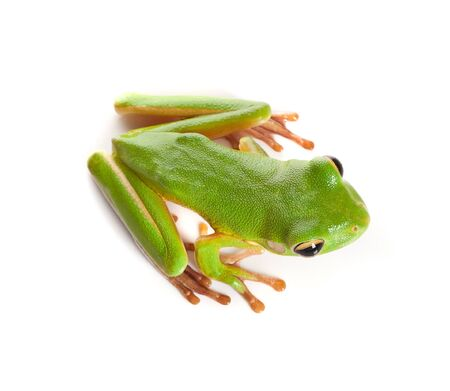 Top view on a white-lipped tree frog or Litoria Infrafrenata isolated on white photo