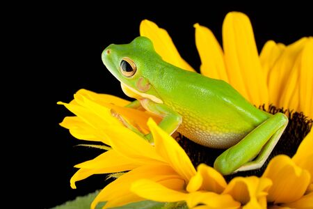treefrog: White-lipped tree frog or Litoria Infrafrenata sitting on a sunflower