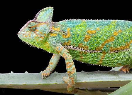 lizard: Yemen o Camale�n velado, sentado en una hoja de cactus  Foto de archivo