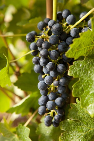 Blue grapes hanging on a vine in a vineyard Stock Photo - 7481907