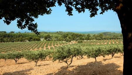 arboleda: Ver en un olivar grande en Provenza, Francia  Foto de archivo