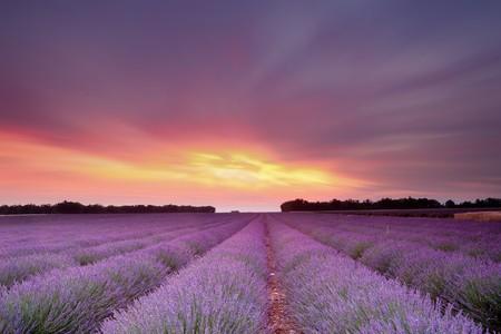 campo de flores: Puesta de sol sobre un campo de lavanda de verano en la Provenza, Francia