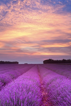 plateau of flowers: Sunset over a summer lavender field in Provence, France