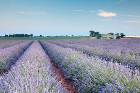 lavande: Rows of scented flowers in the lavender fields of the French Provence near Valensole Stock Photo