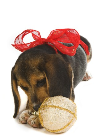 robbon: Beagle puppy dog playing with a christmas decoration, wearing a christmas ribbon