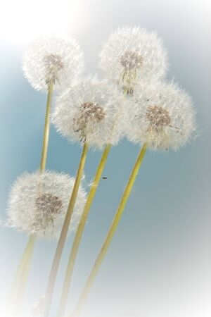 Group of dandelion flowers in summer sunshine photo