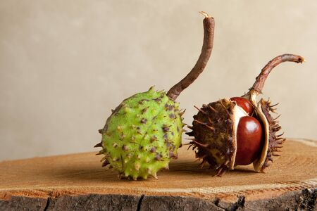 conkers: Still life with chestnuts on a tree trunk
