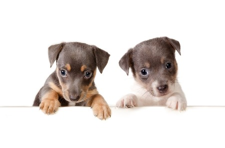 Isolated 6 weeks old jack russel puppy dogs with a white message Stock Photo - 7686146