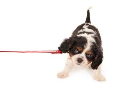 cavalier: Little King Charles puppy dog protesting on a leash