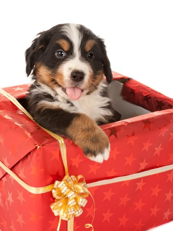Bernese mountain dog puppy sitting in a christmas present photo