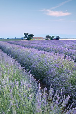 Farm and rows of scented flowers in the lavender fields of the French Provence near Valensole photo