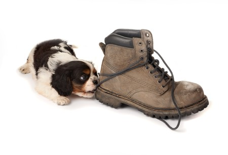 cavalier: Baby king charles spaniel playing with an old boot Stock Photo
