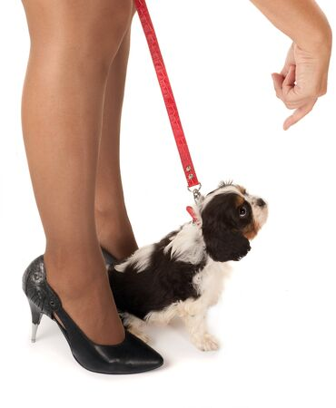 Womans legs and a 6 weeks old cavalier king charles puppy photo