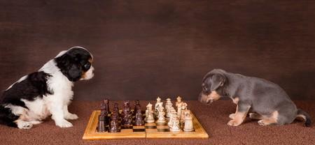 jugando ajedrez: Dos perros de cachorro de 6 semanas de edad jugando al ajedrez