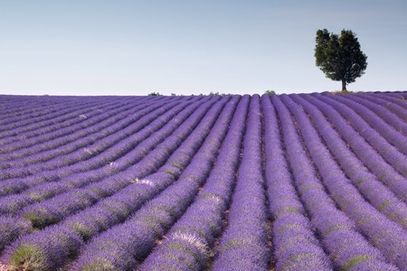 Endless rows of scented flowers in the lavender fields of the French Provence near Valensole photo