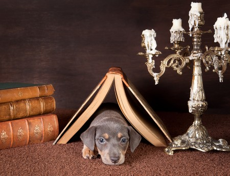 Jack russel puppy of six weeks old onder an open book at home photo