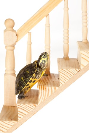 upward struggle: Little green turtle moving up slowly on a wooden stair, making progress