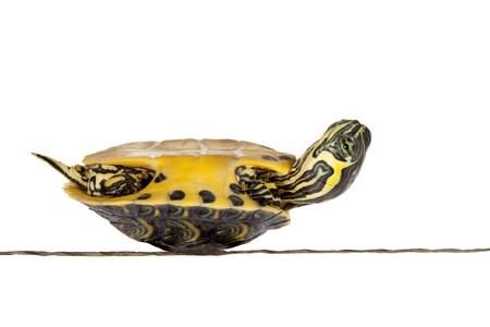 small reptiles: Turtle Sick