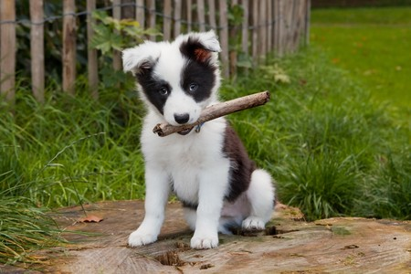 collie: Seven weeks old border collie puppy dog in green meadow grass