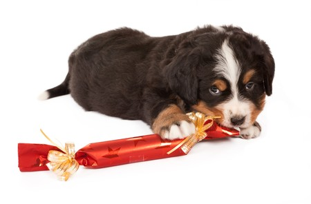 Bernese mountain dog puppy playing with a christmas present photo