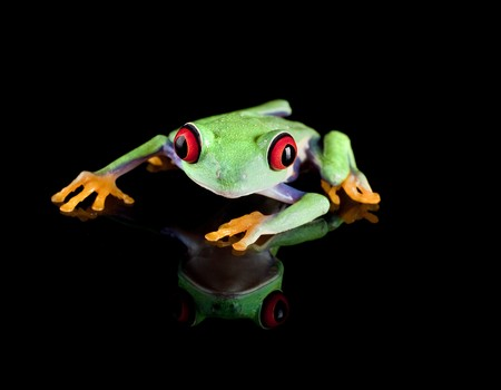 redeye: Isolated red eyed tree frog reflected on black