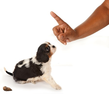 reprimand: Little King Charles spaniel puppy getting a reprimand or warning