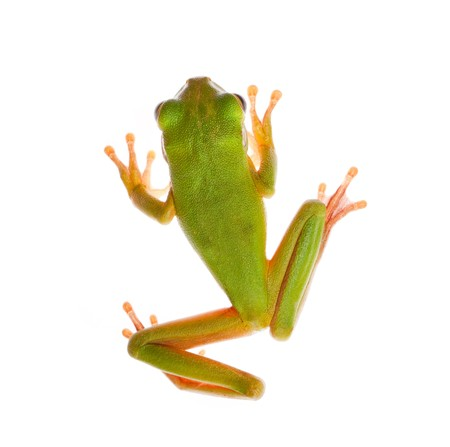 green tree frog: Top view on a white-lipped tree frog or Litoria Infrafrenata isolated on white