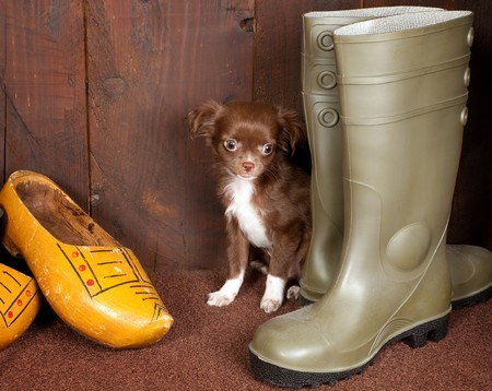 Big boots with a three months old chihuahua puppy Stock Photo - 8202086